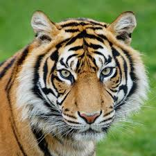 stock tiger photo